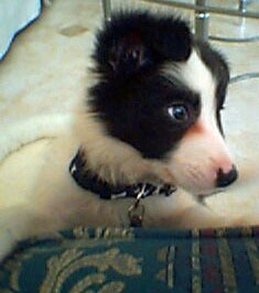 Border Collie Baby