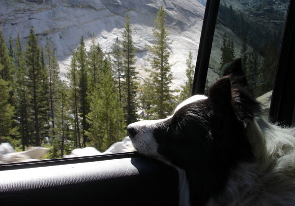 border collie car window