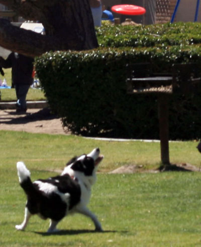 border collie catchng frisbee