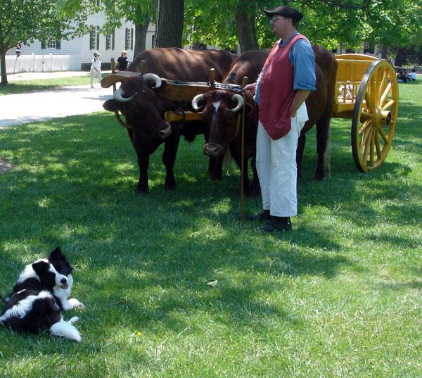Border Collie Working Cattle