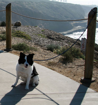 Border Collie Walking on the Cliffs