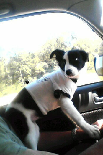 Border Collie Driving