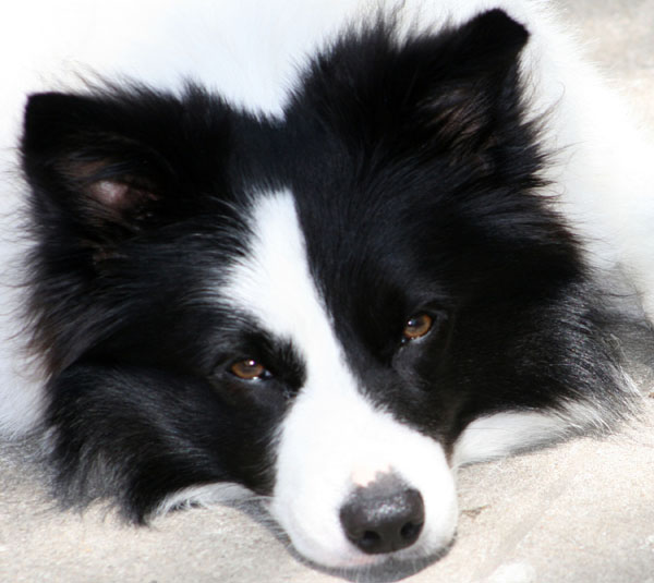 border collie ears