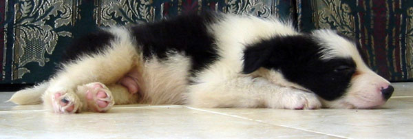 Border Collie Male Puppy