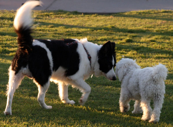 border collie other dogs