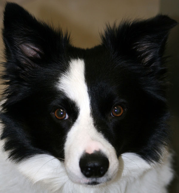 black and white border collie puppies with blue eyes