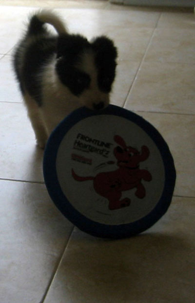 border collie puppy frisbee
