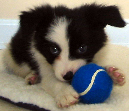 Border Collie Puppies on Consider Going To A Border Collie Rescue  Rescuing A Border Collie