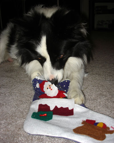 border collie stockings