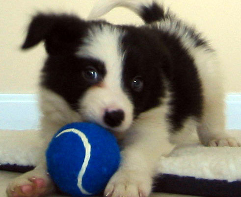 Border Collie Toys