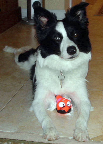 Border Collie Toy